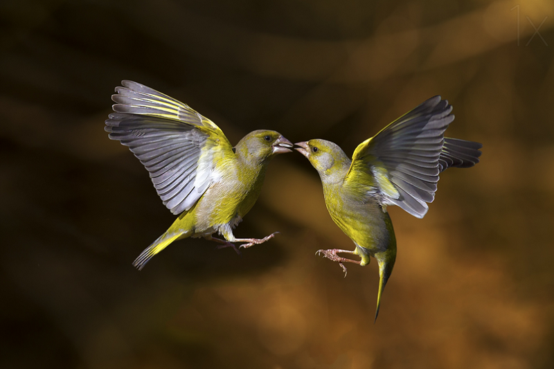 flying kiss - bird photography - nature photography