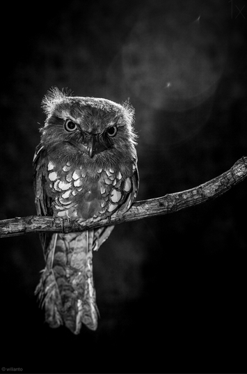 owl in the night - bird photography - nature photography