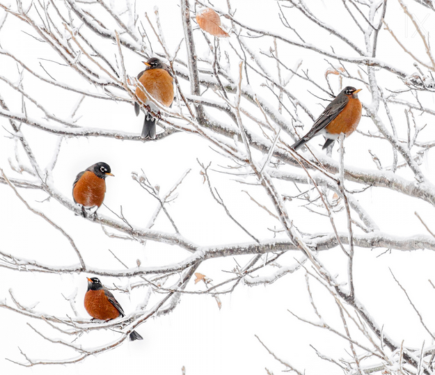 Robins in snow - bird photography - nature photography