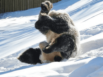 Giant Panda Tumbles In The Snow