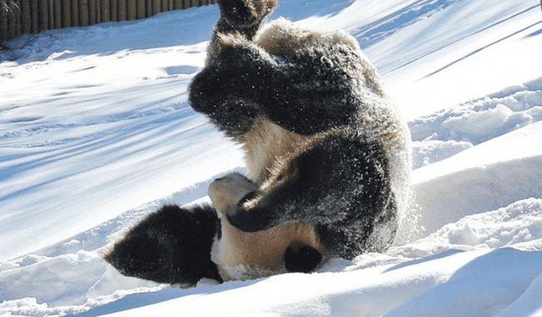 Giant Panda Loves Snow Like No One Else