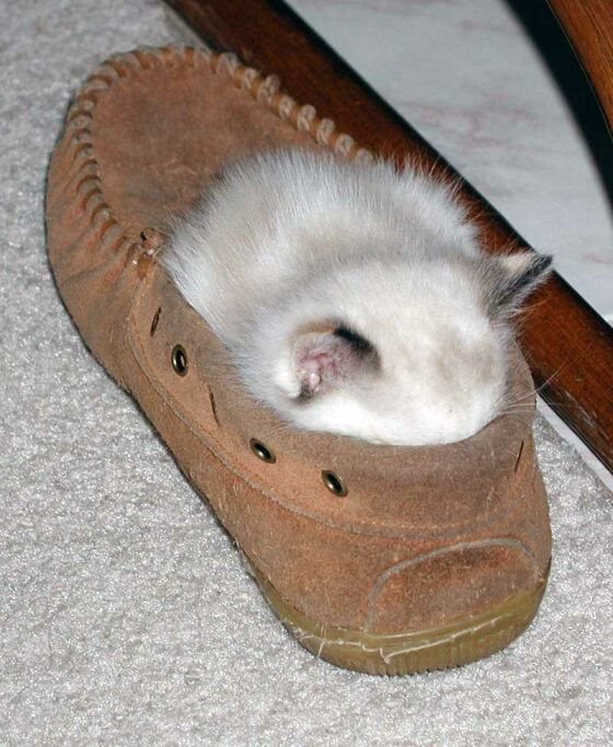 cat hiding in shoe - photos of cat trying to hide