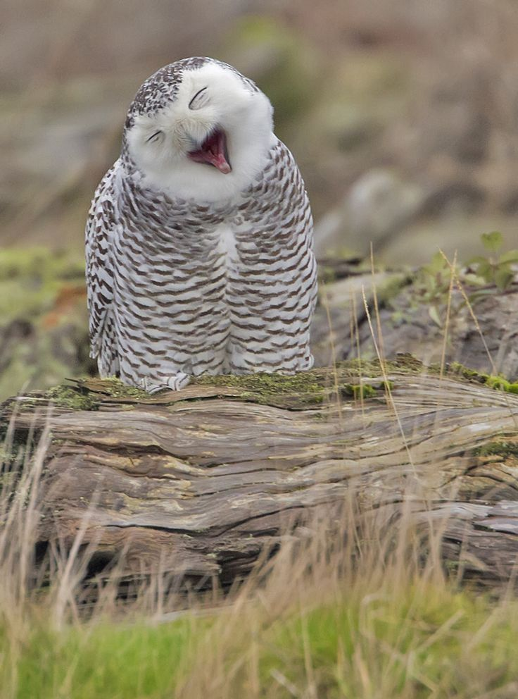 cute sleepy yawny owl cute animals yawning photos