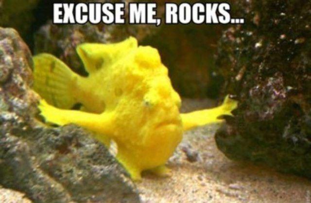 excuse me rocks funny fish meme