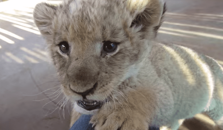 Would You Live with a Lion? How is it to Have a Dangerous Yet Sweet Lion Cub As A Pet