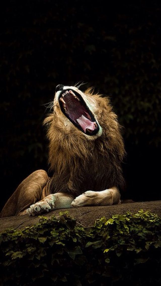 sleepy lion cute animals yawning photos