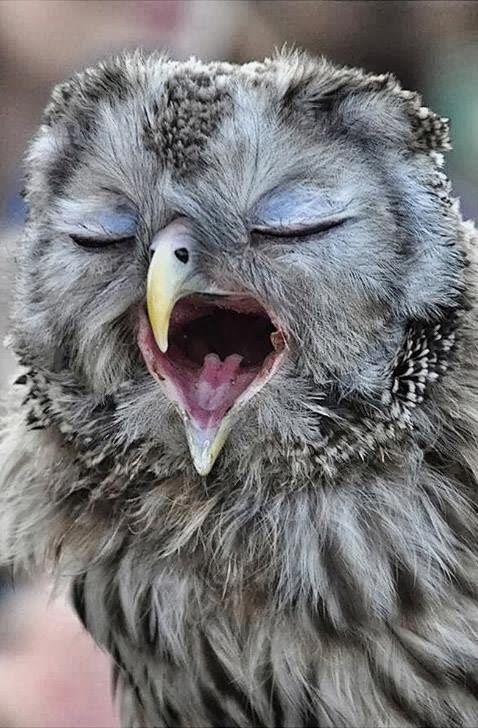 sleepy owl cute animals yawning photos
