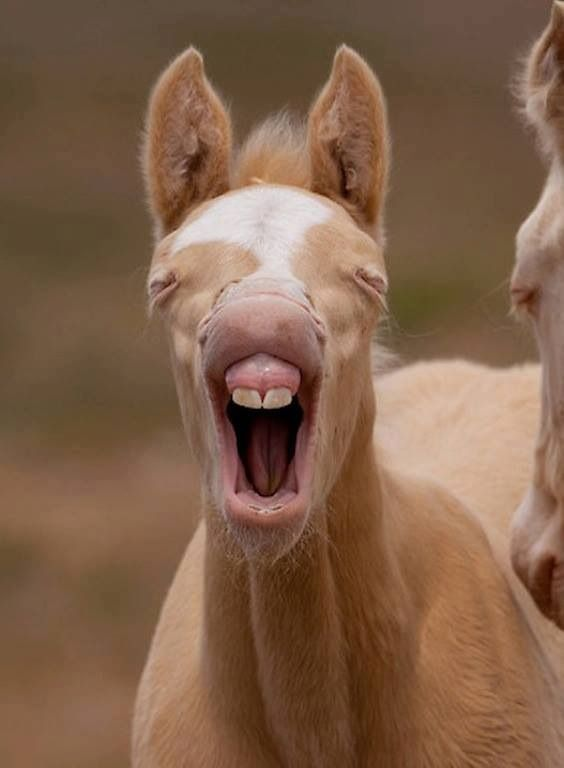 sleepy pony cute animals yawning photos
