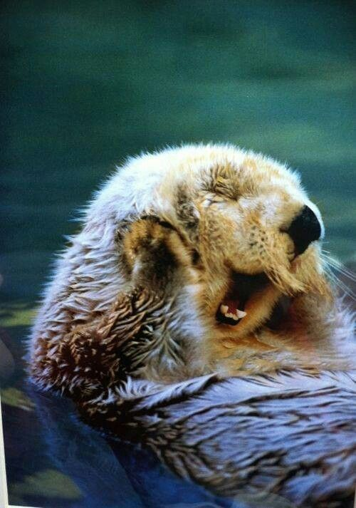 sleepy yawny otter cute animals yawning photos