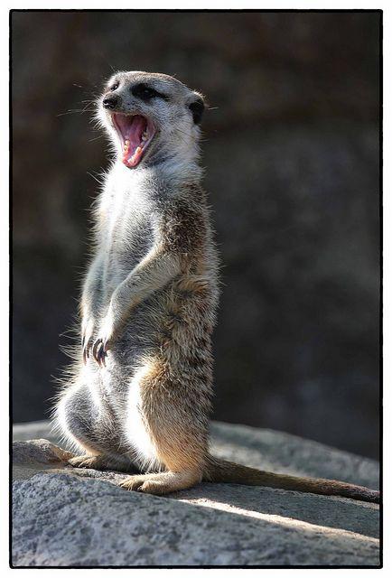 yawning baby meerkat cute animals yawning photos