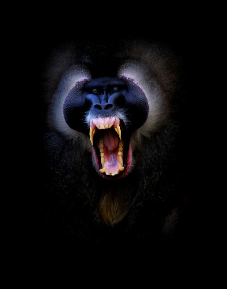 yawning mandrill sleepy animals