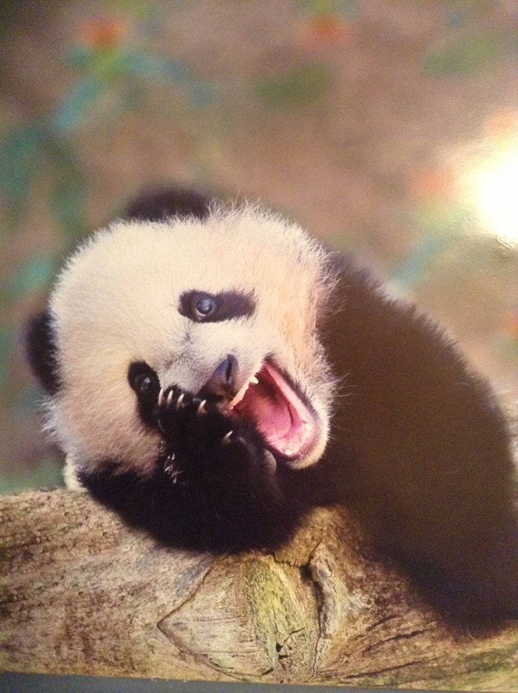 yawning panda cute animals yawning photos