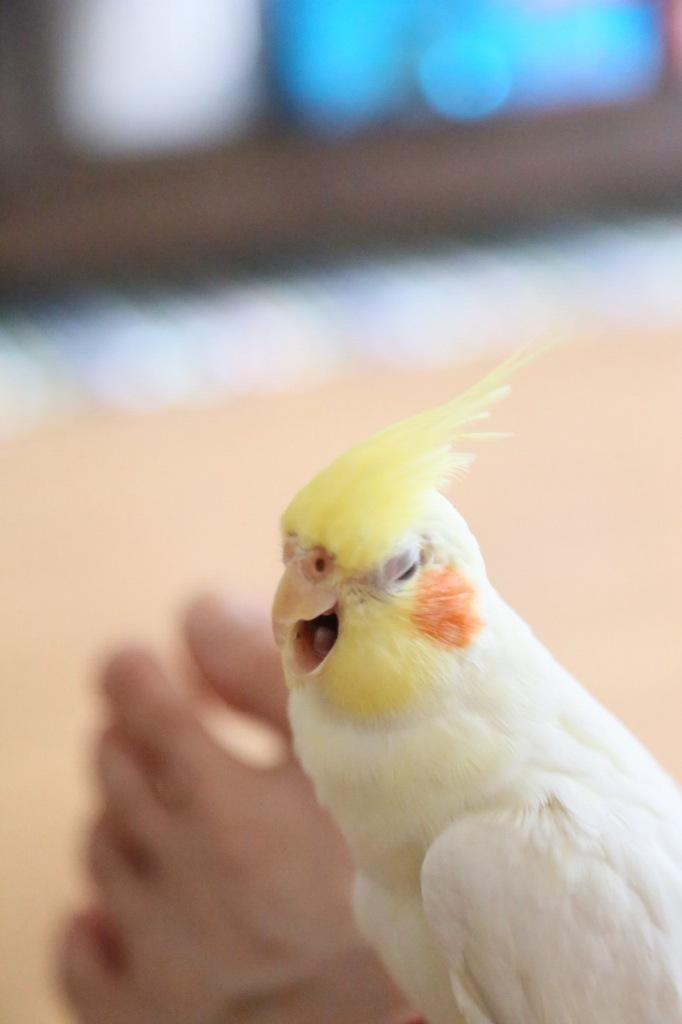 yawning parrot cute animals yawning photos
