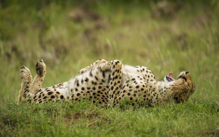 animal-cheetah_3436276a-large