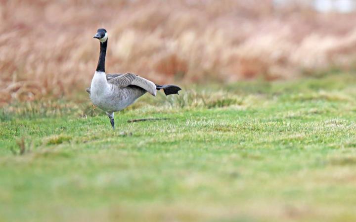 animal-goose_3436274a-large