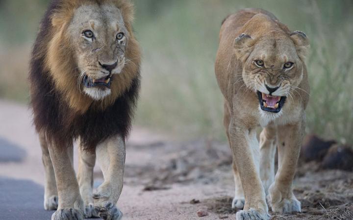 animal-lion_3436279a-large