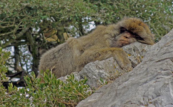 animal-monkey_3436290a-large