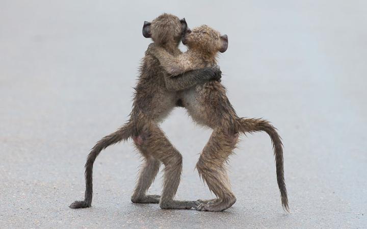 animal-monkeys_3436293a-large