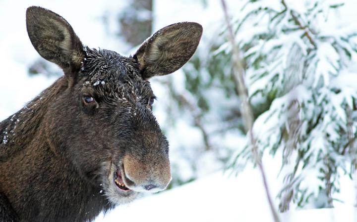 animal-moose_3436283a-large