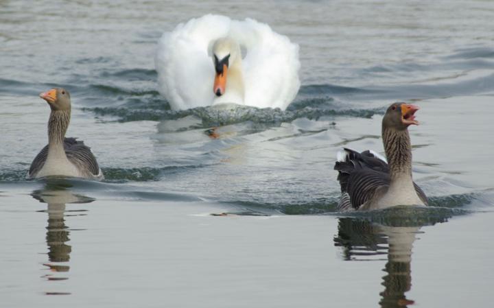 animal-swan_3436266a-large