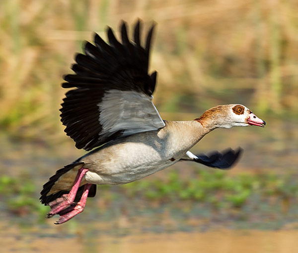 102-Egyptian-Goose-Combretum-H44974
