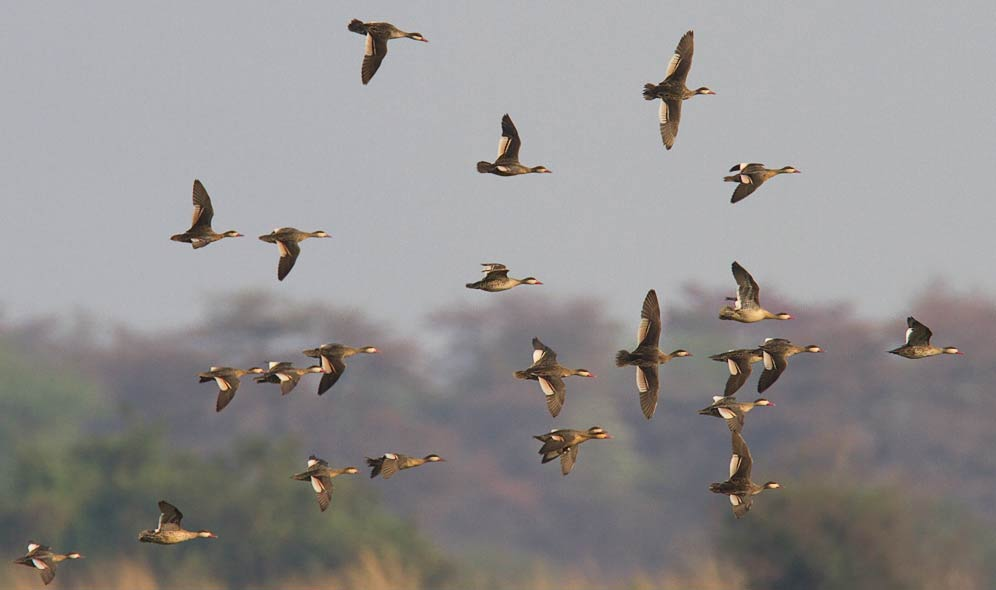 108-Red-billed-Teal-Kaliso-G30360