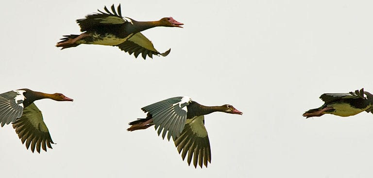 32 More Photos of Migrant Ducks That Are Massively Hunt Down