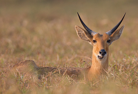 340-Southern-Reedbuck-G08025