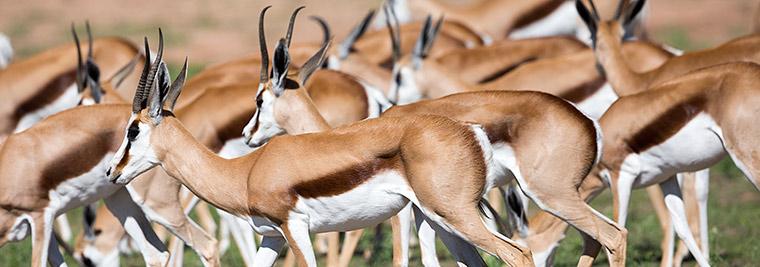 346-Springbok-Kgalagadi-J06491