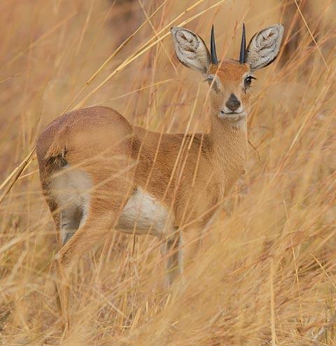 349-Steenbok-Hwange-H10087