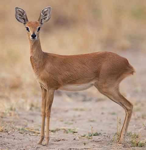 349-Steenbok-Hwange-H10104