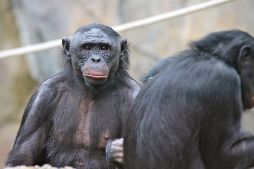 BonobosInACaptivitySetting.JPG.838x0_q80