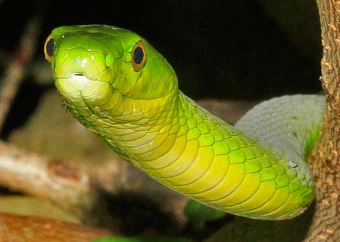 Green-Mamba-Kosi-G13395