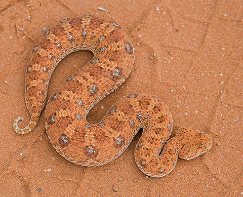 Horned-Adder-Kgalagadi-J05963