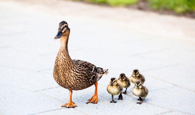 Mother-Duck-Ducklings-Sidewalk.jpg.838x0_q80