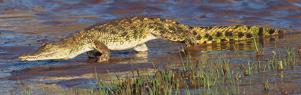 Nile-Crocodile-Balule-J18690
