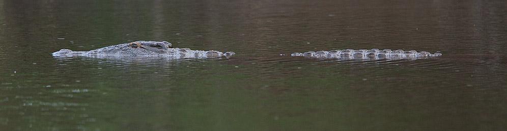 Nile-Crocodile-Blyde-H38976