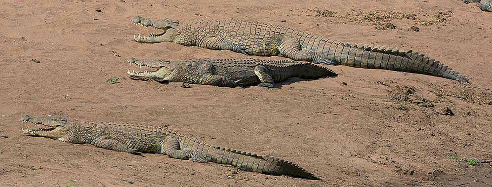 Nile-Crocodile-Pafuri-H47696