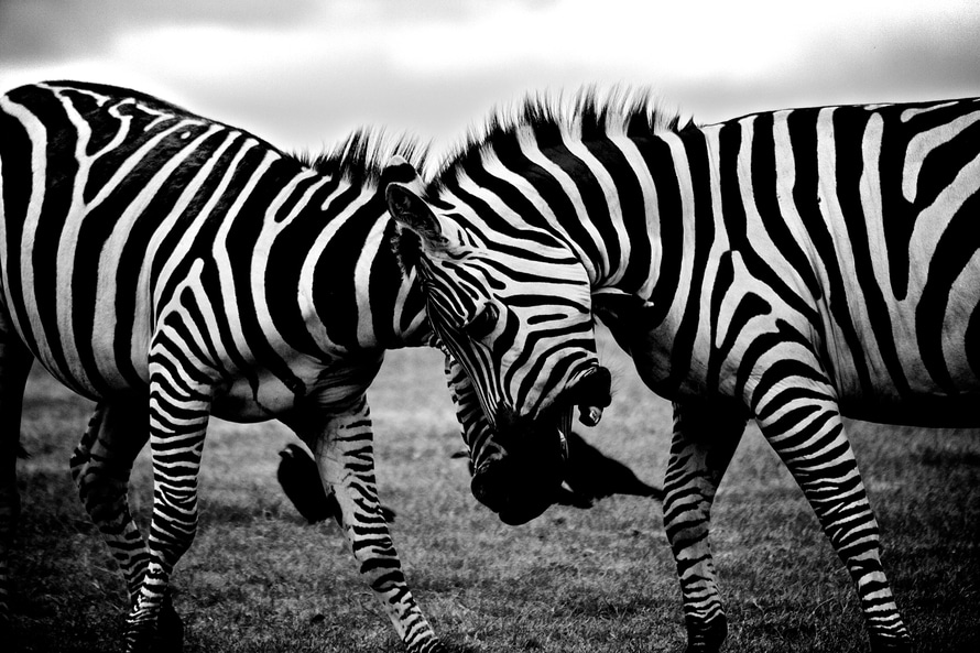 black-and-white-africa-animals-wilderness-large