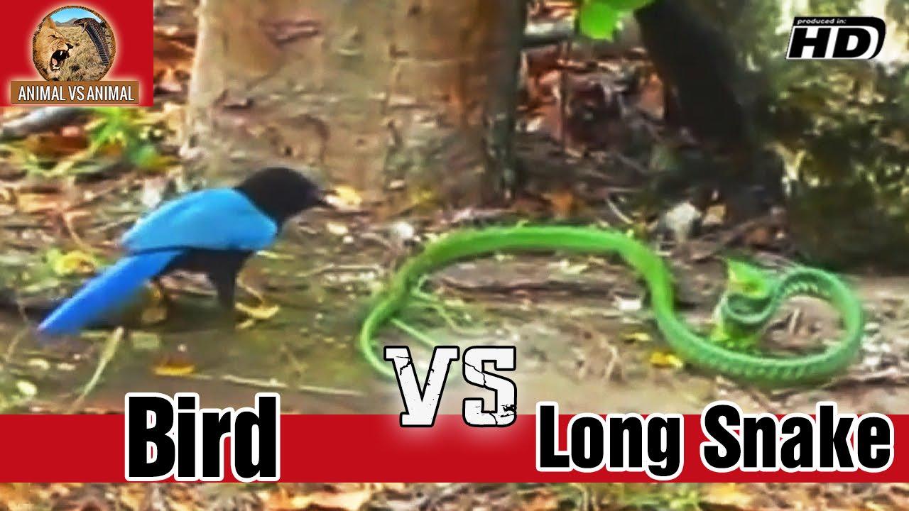 The Bird Faces The Long Snake Animal Vs Bird