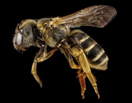 bee-halictus-macro-pollinator