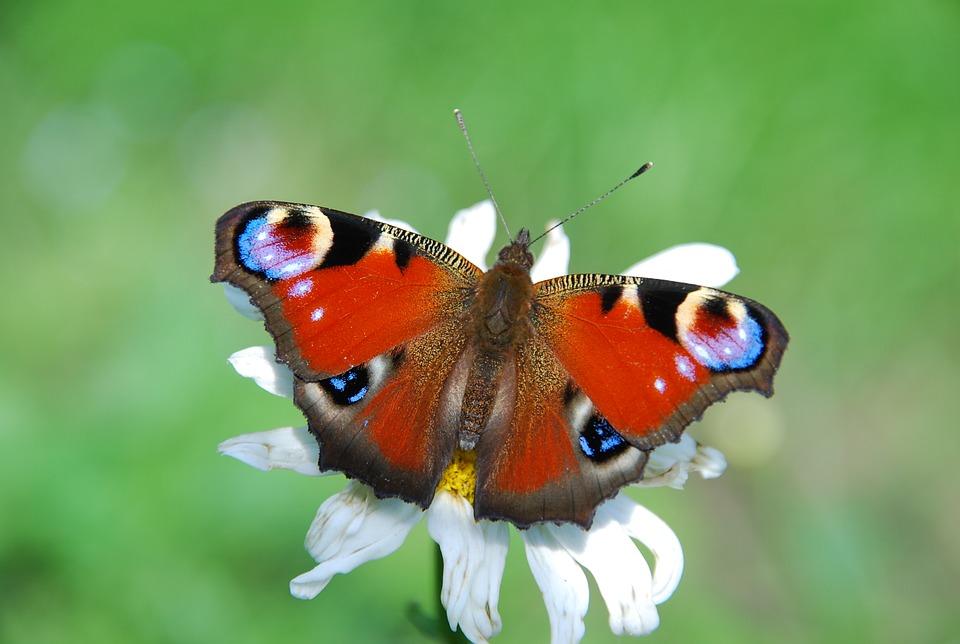 butterfly-1452820_960_720