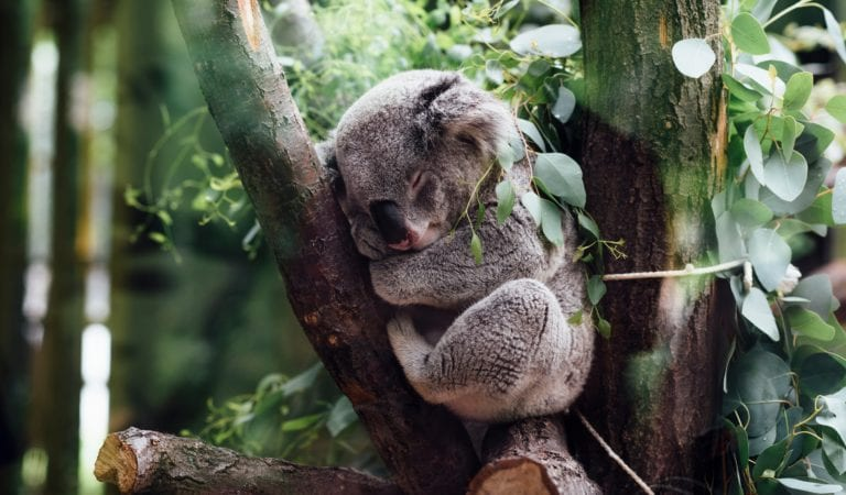 This Cute Koala Felt Tired After Some Play And Fell Asleep on The Tree – 6 Photos