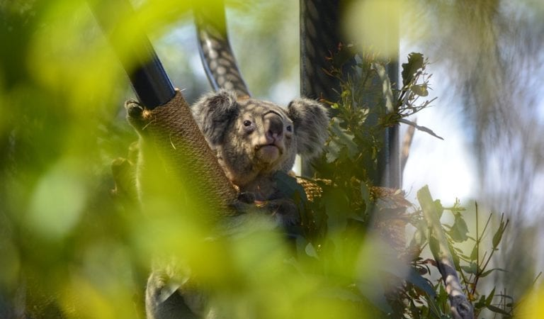 4 Funny Koala Cub Videos That Would Attract Anyone's Unbiased Attention