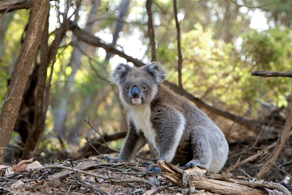 koala-amazing
