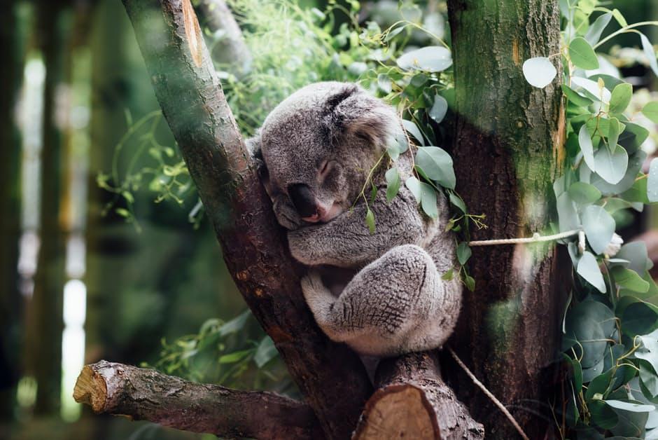 koala-animal