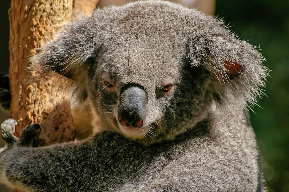 koala-bear-marsupial-grey-51197