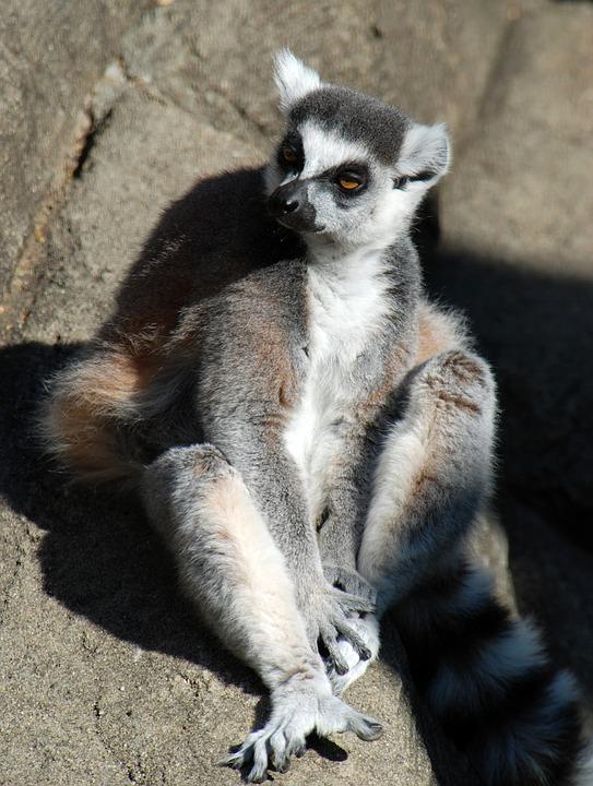 lemur-1434508_960_720