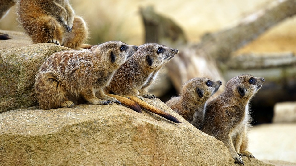 meerkat-1392862_960_720