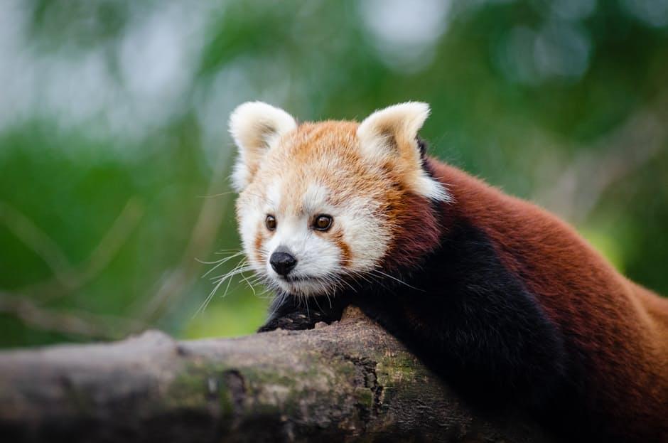 panda-hd-photos-9